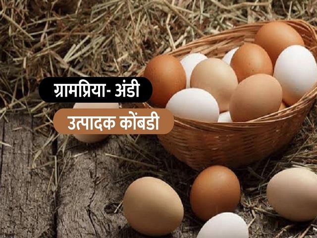 आपल्या घराच्याजवळील मोकळ्याबागेत करा ग्रामप्रिया कोंबडींचे पालन; वर्षाकाठी मिळतील २३० अंडी