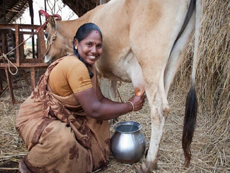 गाईचे खरवस कोरोना रुग्णांसाठी उपयुक्त