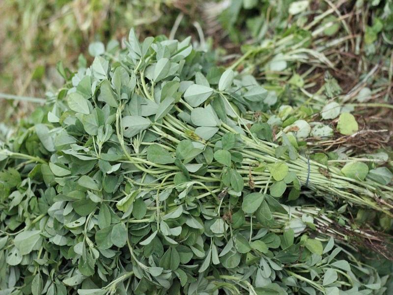 fenugreek cultivation