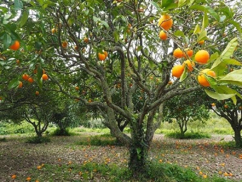 Management of major diseases on orange crop