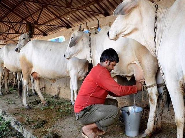 दूध दरासाठी १७ जून रोजी महाराष्ट्रभर दूध उत्पादक शेतकऱ्यांचं आंदोलन