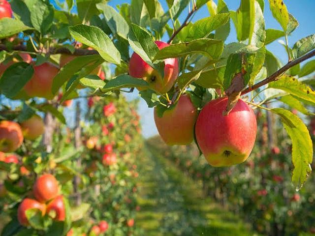 डाळिंब बागाच्या पट्ट्यात सफरचंदाचा प्रवेश; आखतावाड्यात बहरली सफरचंद बाग