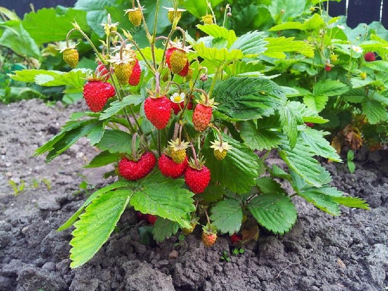 स्ट्रॉबेरी लागवड आणि व्यवस्थापन