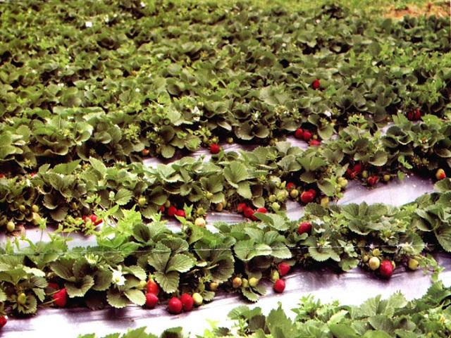 10 गुंठे जमिनीवर दोन लाखाचं उत्पन्न देणाऱ्या स्ट्रॉबेरीवर होणार संशोधन