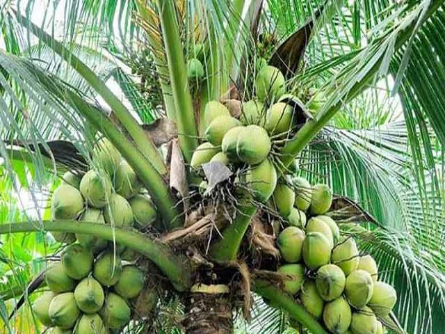 पारंपारिक शेतीला मिळाला उत्तम पर्याय; नारळ शेतीतून शेतकऱ्यानं साधली प्रगती