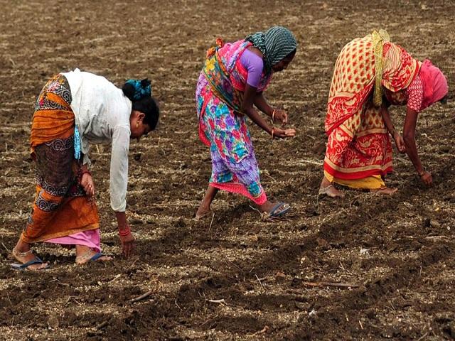 """शेतकऱ्यांची भन्नाट आयडिया; """"तारफुली""""द्वारे केली पेरणी"""
