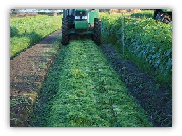 हिरवळीचे खत जमिनीचा पोत सुधारत वाढवेल सुपीकता
