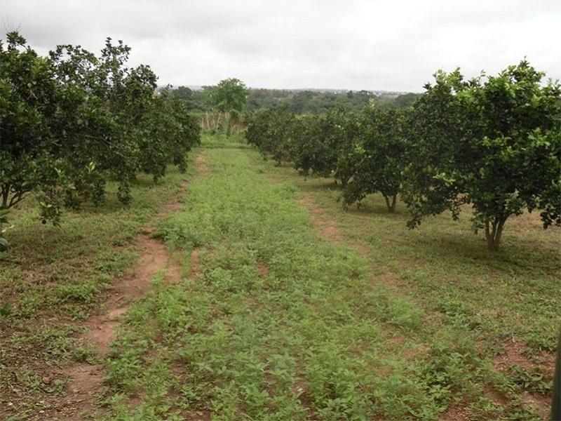 फळबागांमध्ये कंद पिकांचे आंतरपीक