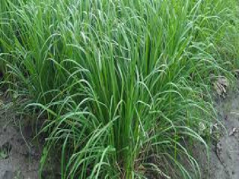 aeromatic farming