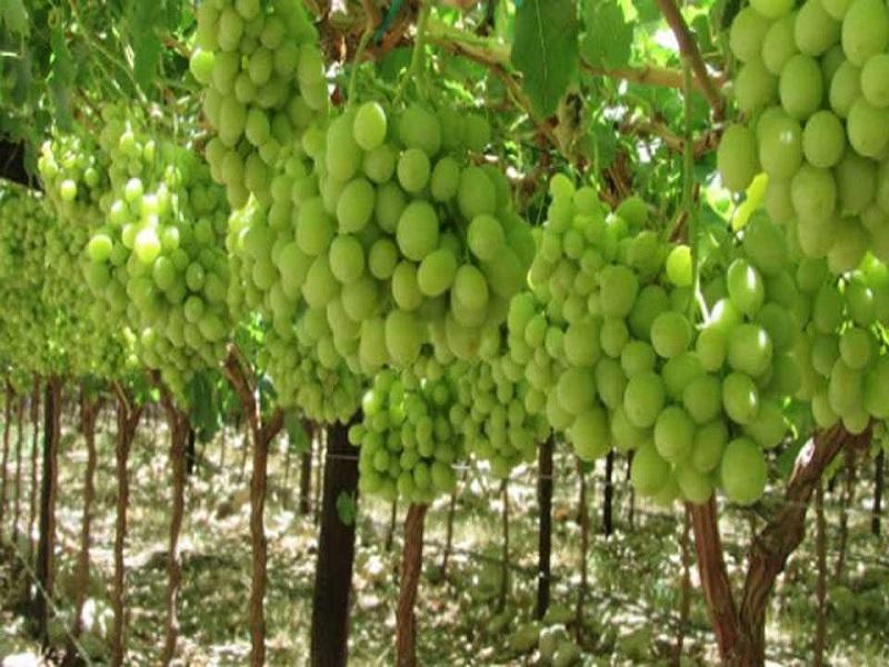 पावसाळ्यातील द्राक्ष बागांतील समस्या आणि त्याचे व्यवस्थापन