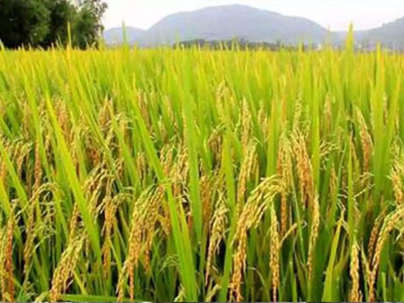 paddy farming