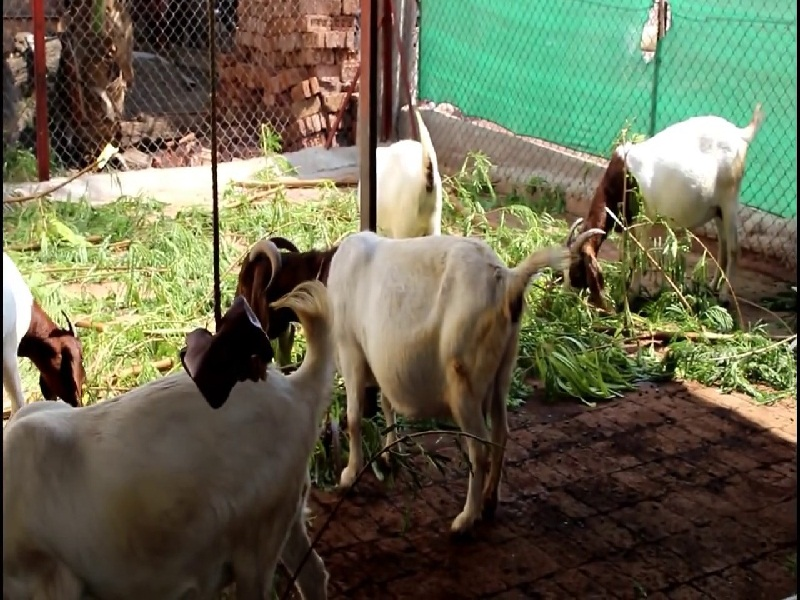 types of goat