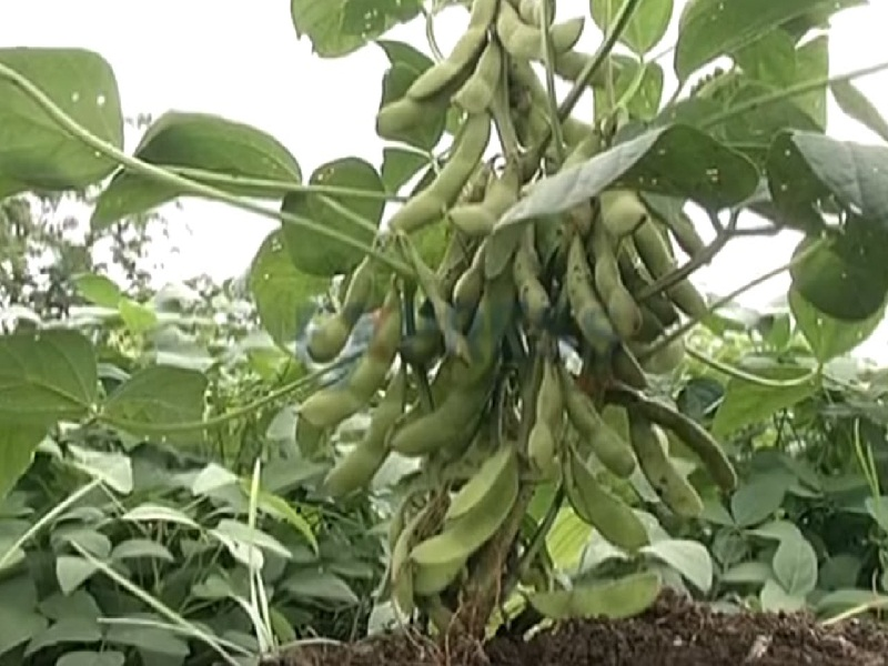 soyabeon cultivation