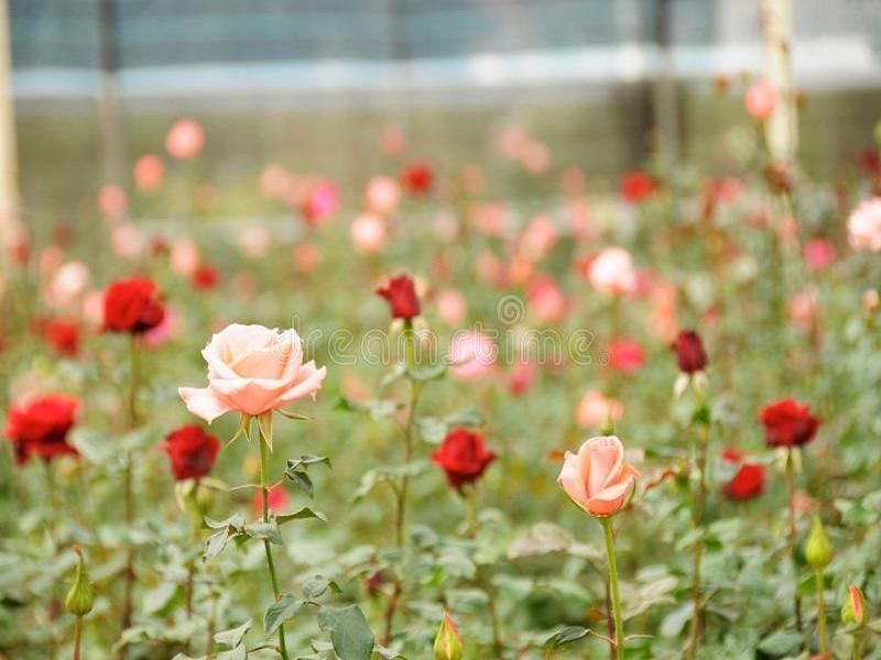 गुलाब शेती
