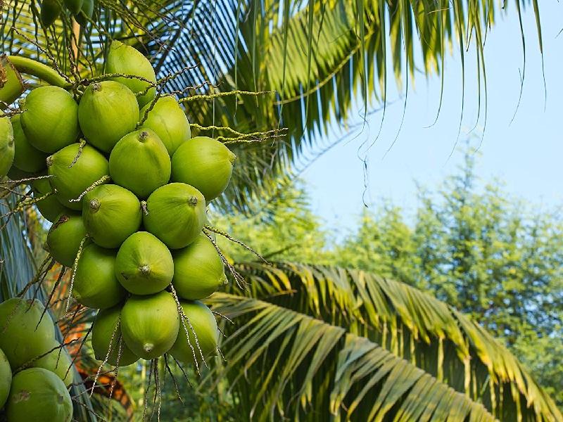 coconut fertilizer management