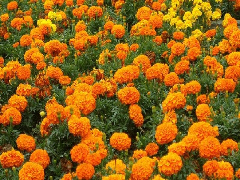 marigold cultivation