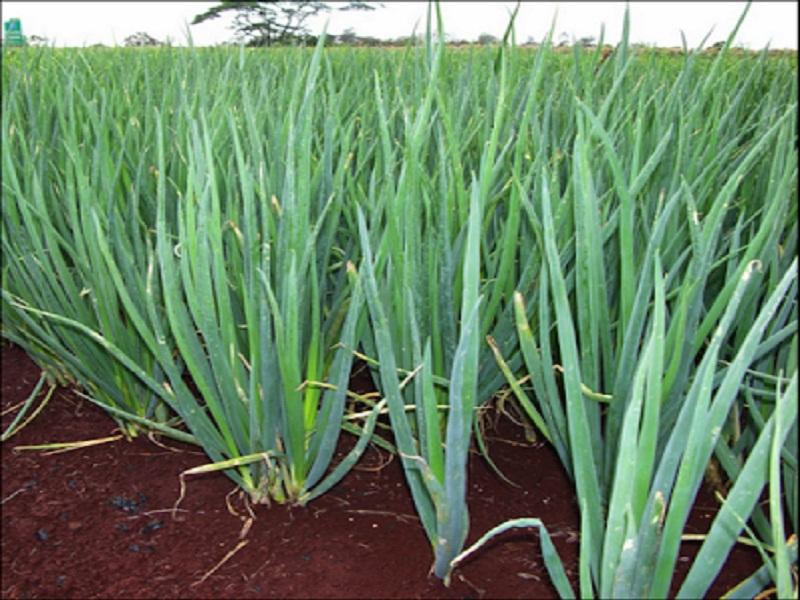onion winter
