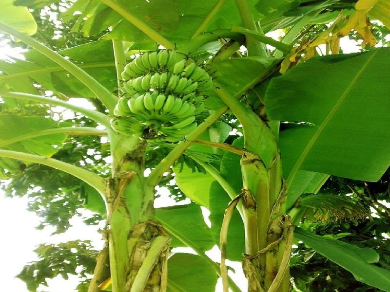 banana plant management