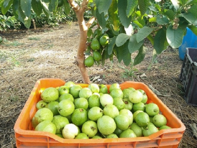 Guava Farming Business Idea