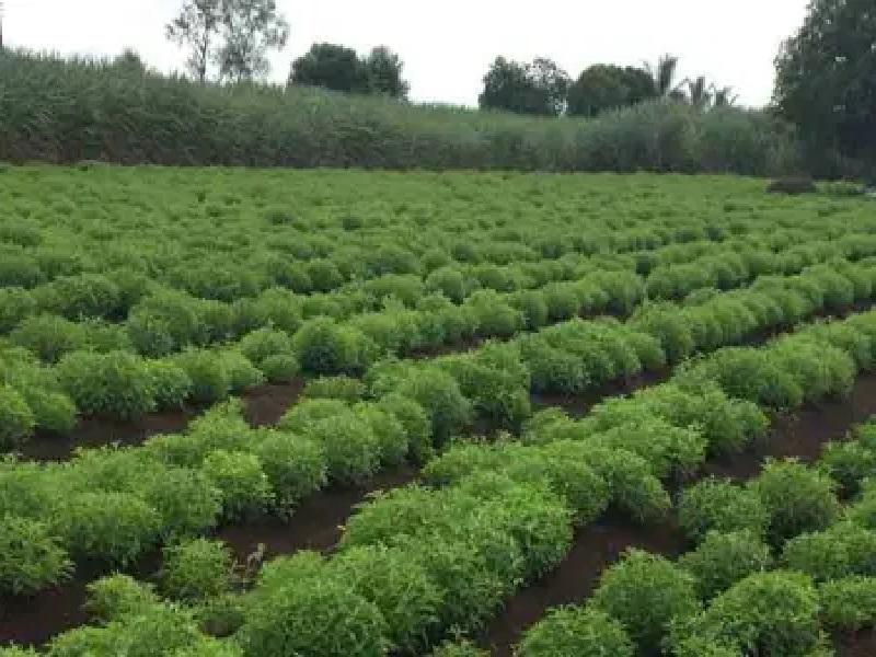 shatavari cultivation