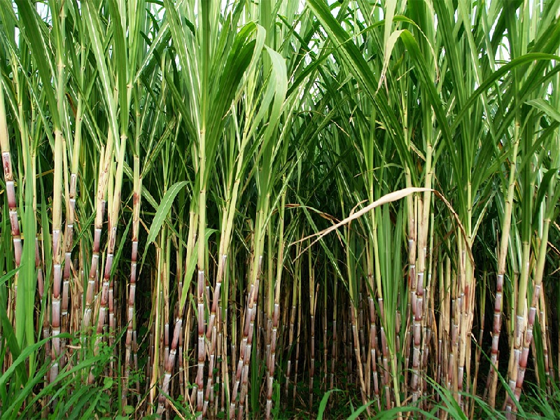 sugercane frp growth
