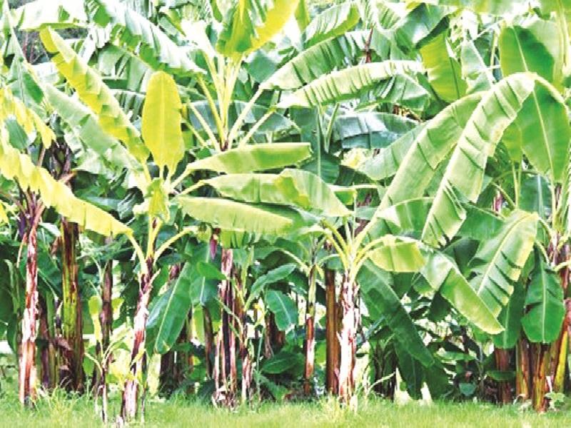 banana crop