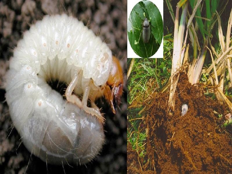 humani worm