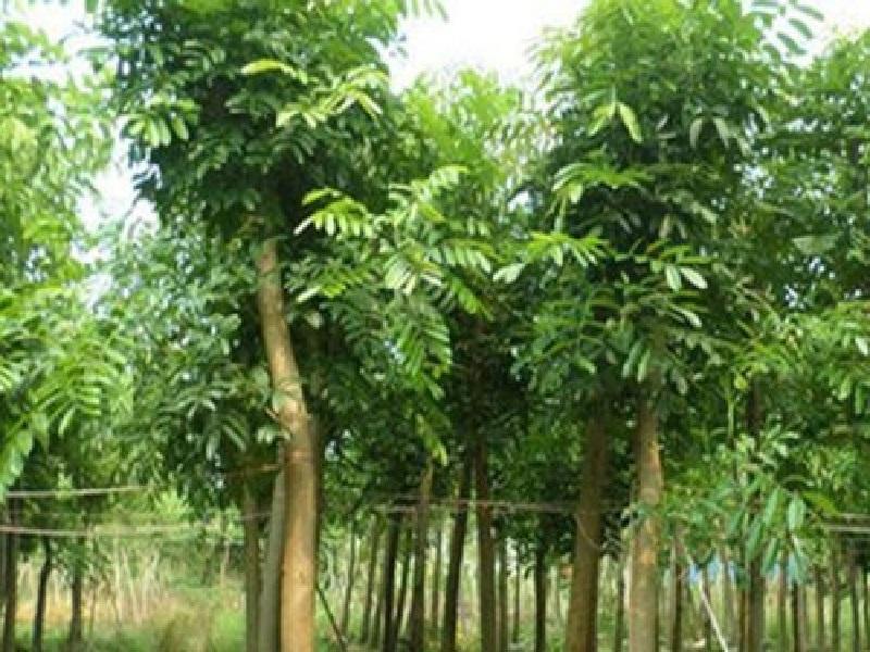 mahogani