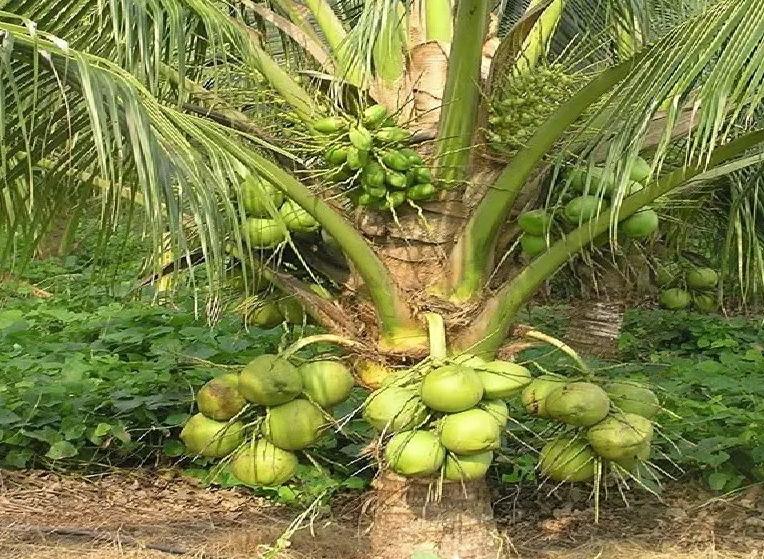 नारळची शेती कशी होते? कोणते हवामान, किती प्रजण्यमान,कोणत्या जमिनीची असते आवश्यकता सर्व काही जाणुन घ्या.