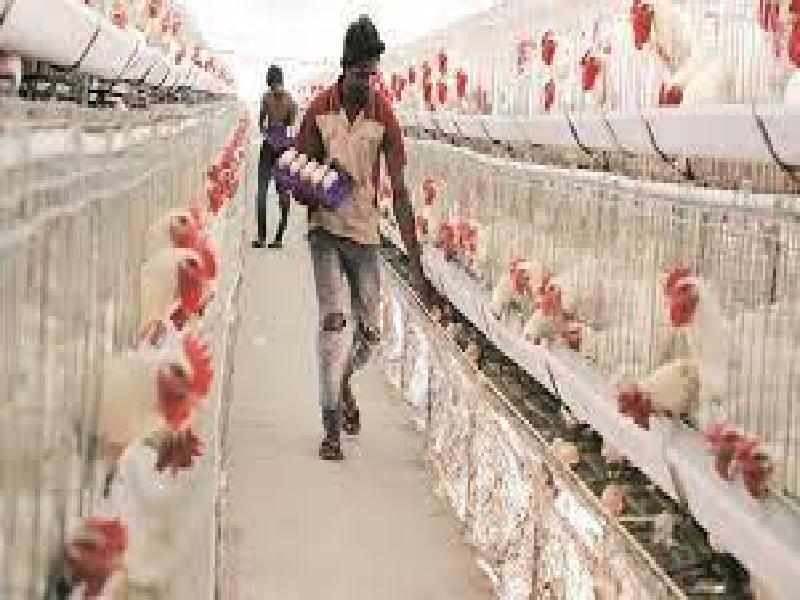 उष्णतेच्या ताणापासून सांभाळा कोंबड्यांना