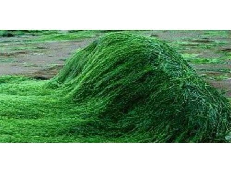 spirulina farming