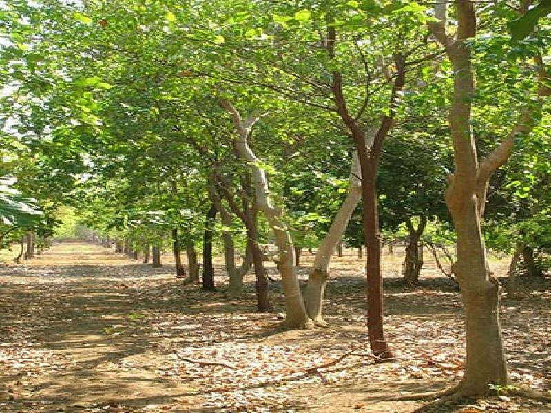 sandelwood trees