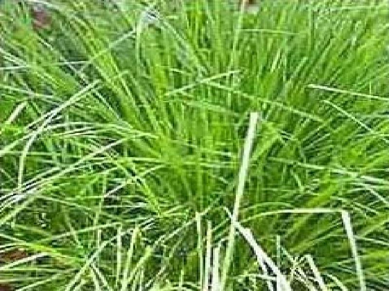 rosha grass