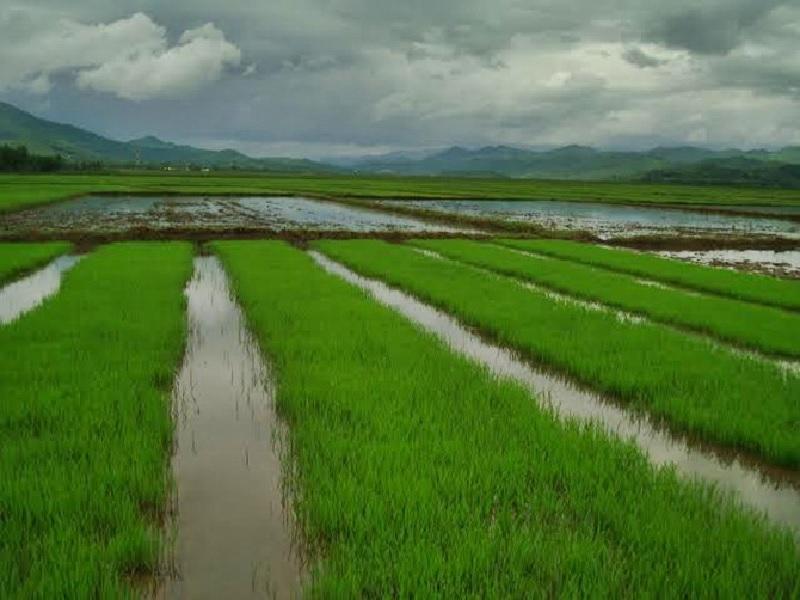 rice species