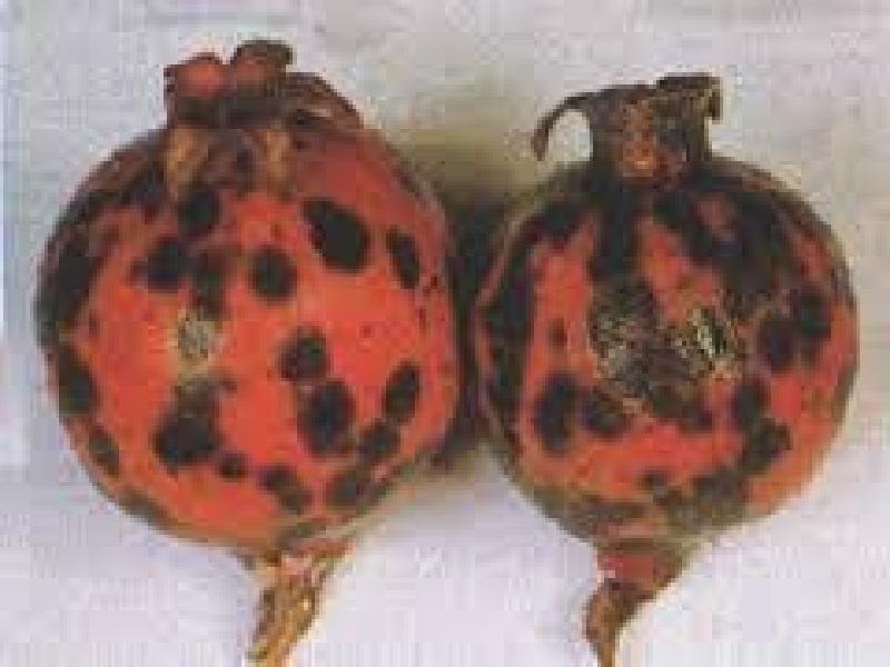 oily spot pomegranete