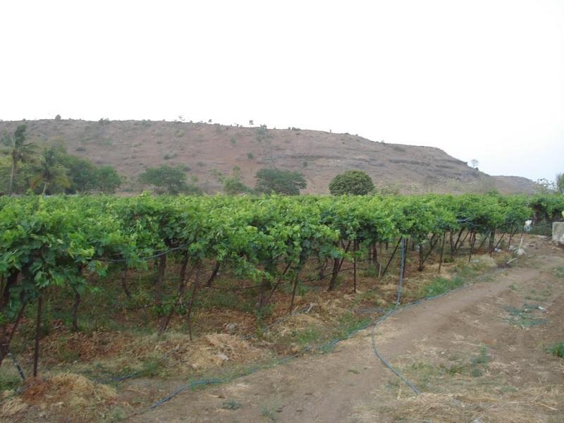 grape orchard