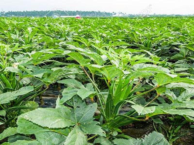 okhra  cultivation