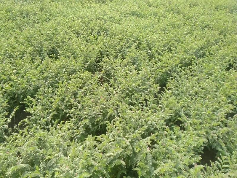 gram crop