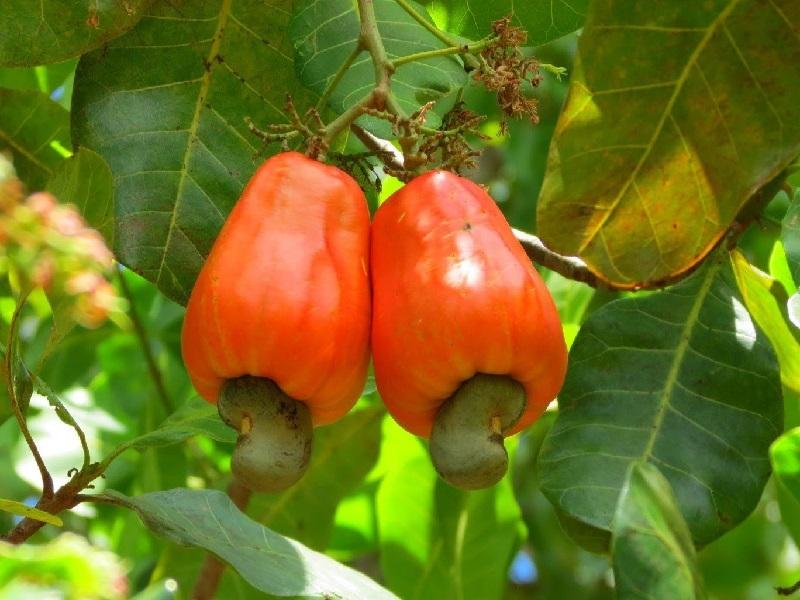 cashew orchard
