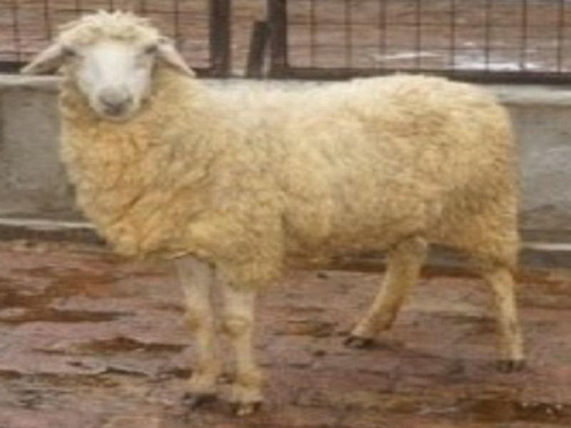 harnaali sheep