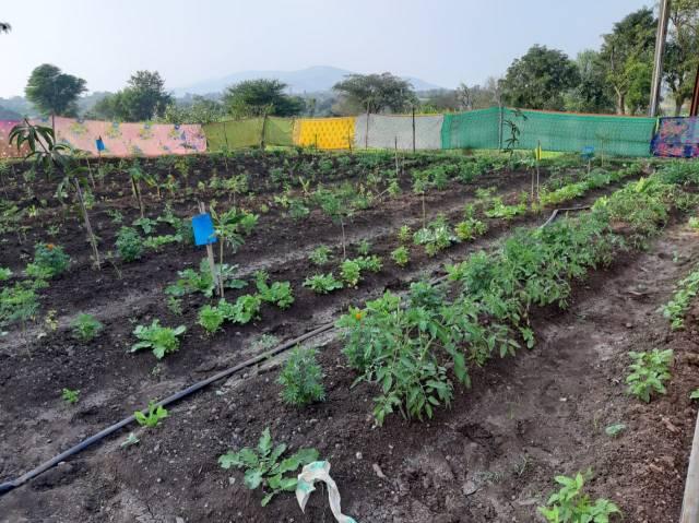 या  शेतकऱ्याने झिरो बजेट दीड एकर शेतातून चार महिन्यात सुमारे तीन लाखांचे काढले उत्पन्न