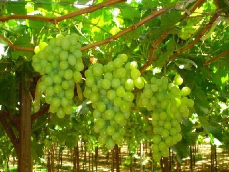 grape orcherd