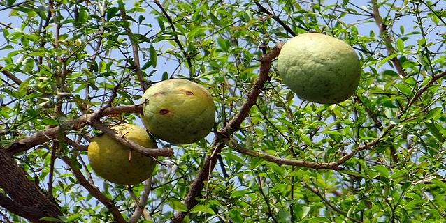 fruit bael