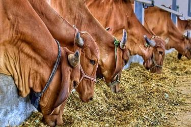 गाईसाठी योग्य आकारमानाचा गोठा