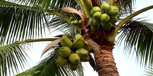 Coconut Crop