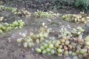 पावसाच्या तडाख्यामुळे निफाडमधील द्राक्षबागांचे नुकसान ; विदर्भात गारपिटीची शक्यता