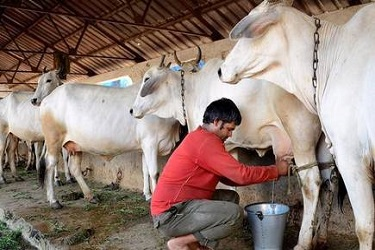 नाबार्डच्या मदतीने सुरू करा दूध डेअरी;   अन् कर्जावर मिळवा ३३ टक्क्यांची  सब्सिडी