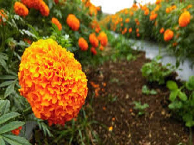 marigold's qualities