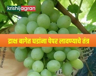 द्राक्ष बागेत घडांना पेपर लावतांना घ्यावयाची काळजी