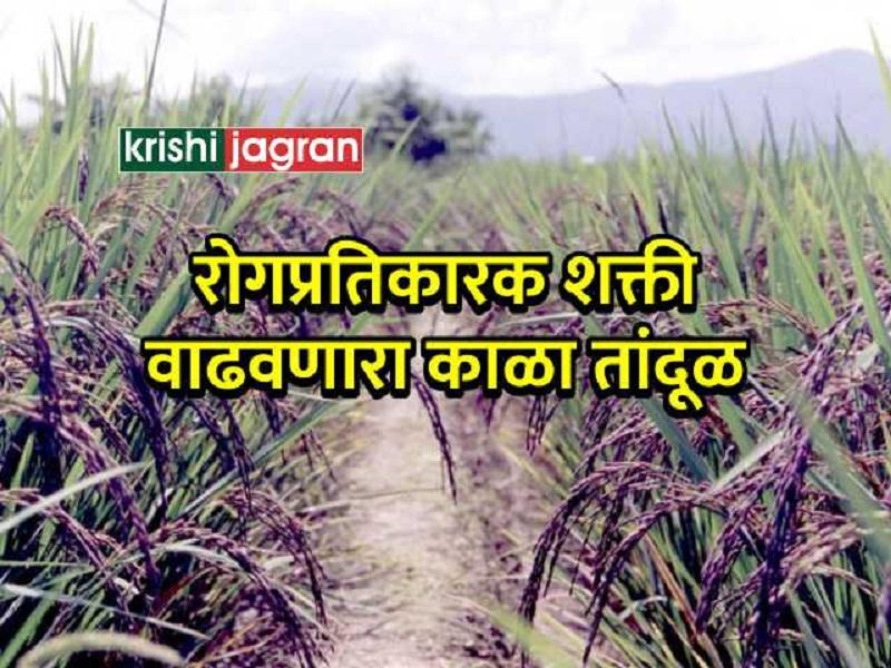 छत्तीसगड  :  आदिवसी घेतायत रोगप्रतिकारक शक्ती वाढवणाऱ्या पिकाचं उत्पन्न ;   जाणून घ्या ! तांदूळचे औषधी गुण
